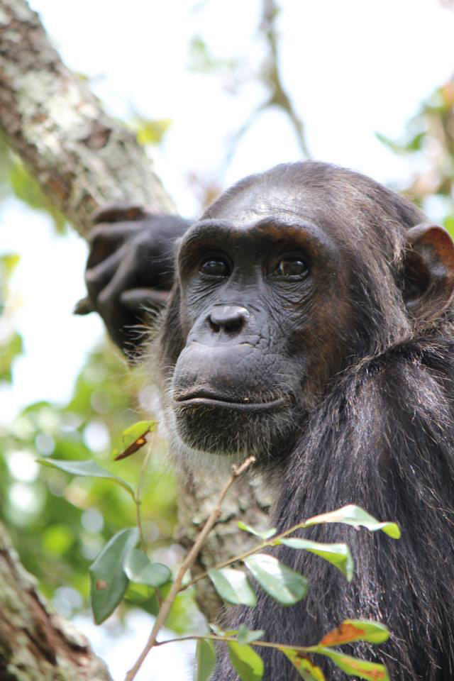 genetic opposites attract when chimpanzees choose a mate