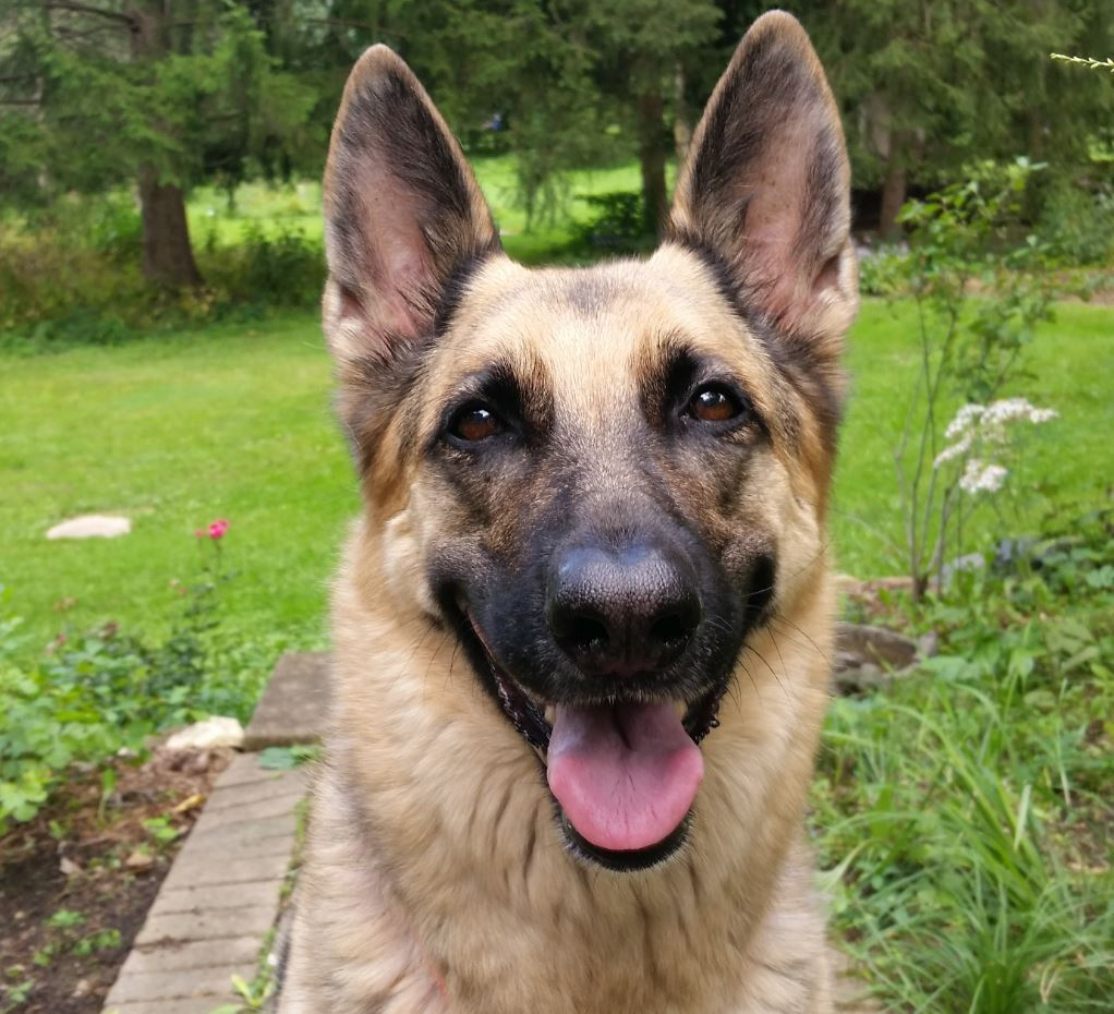 Hybrid Dogs For Sale In India
