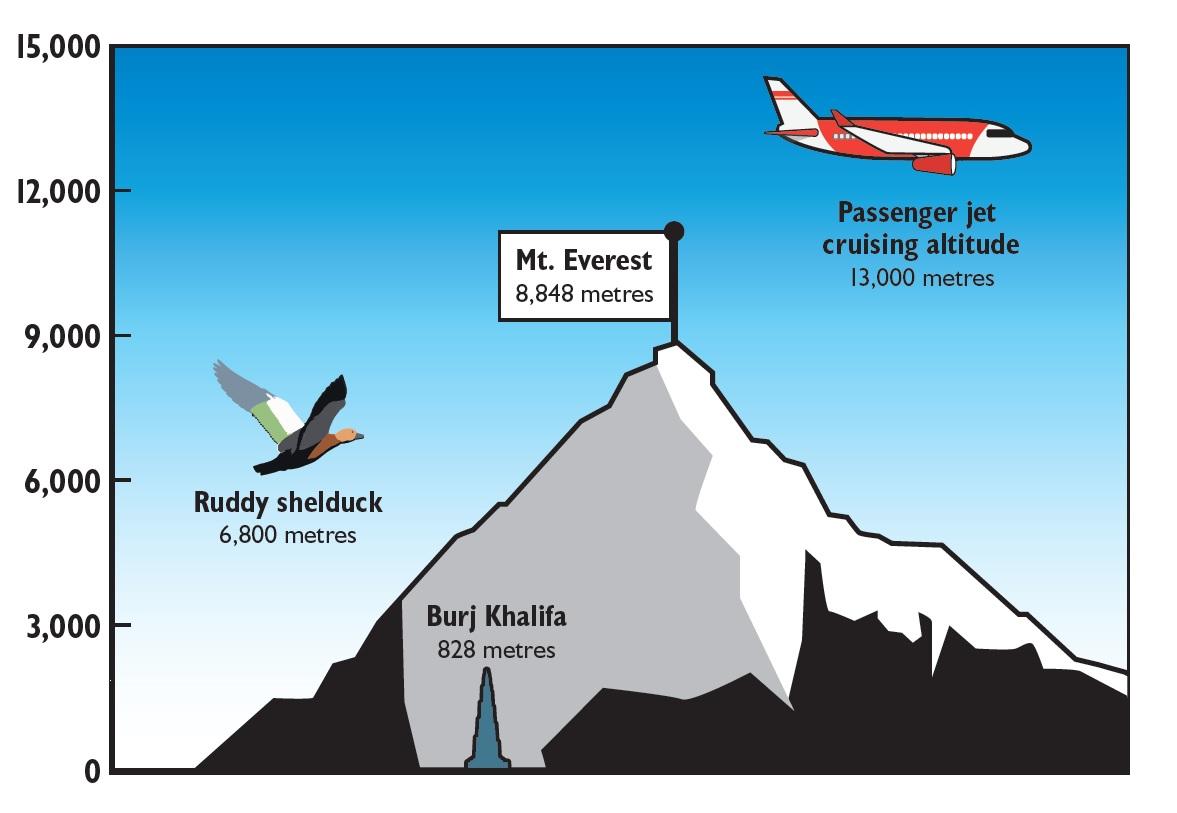 High-flying ducks cross Himalayas