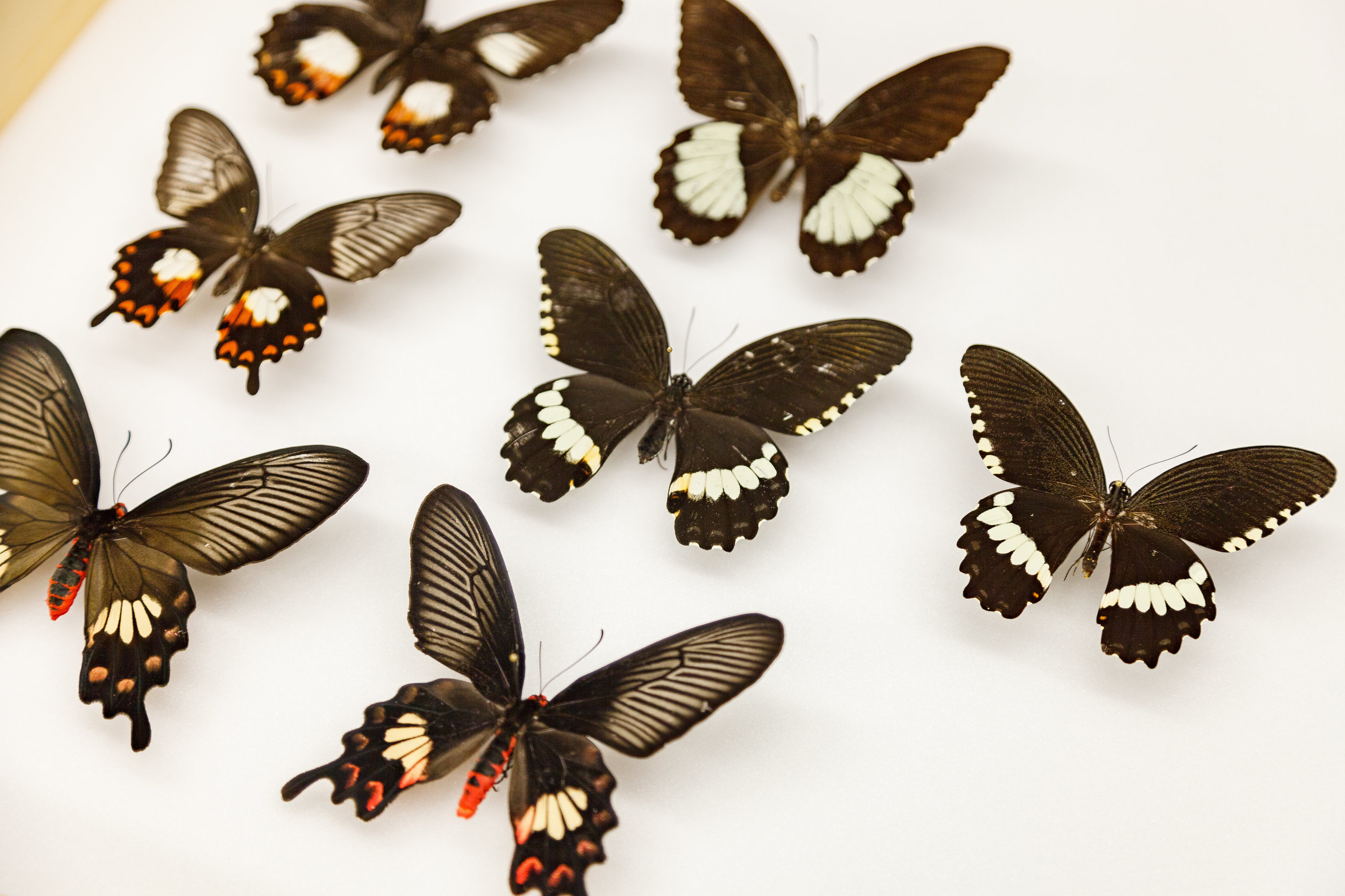 how a flipped gene helped butterflies evolve mimicry