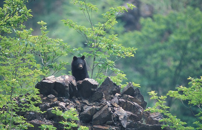 how bears bulk up ahead of the summer a study into the asiatic