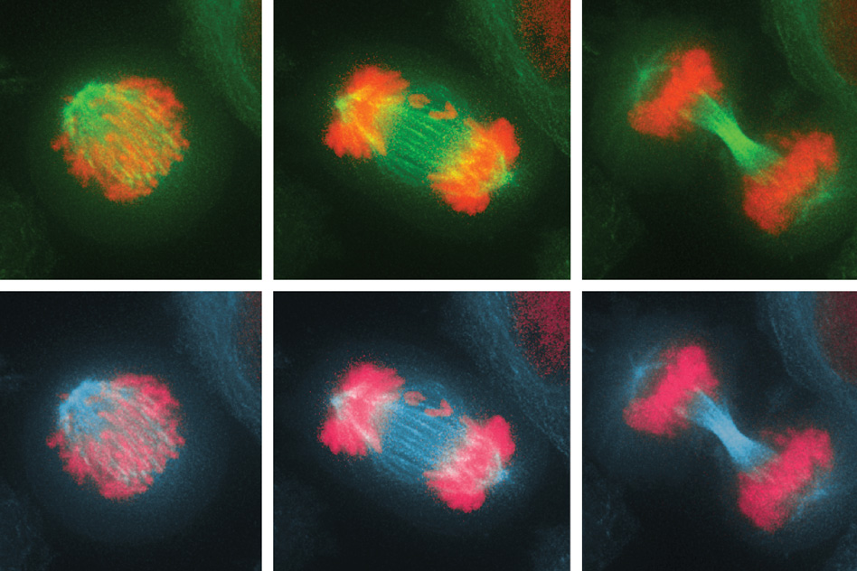 Biologists discover the immune system can eliminate cells with too many or too few chromosomes
