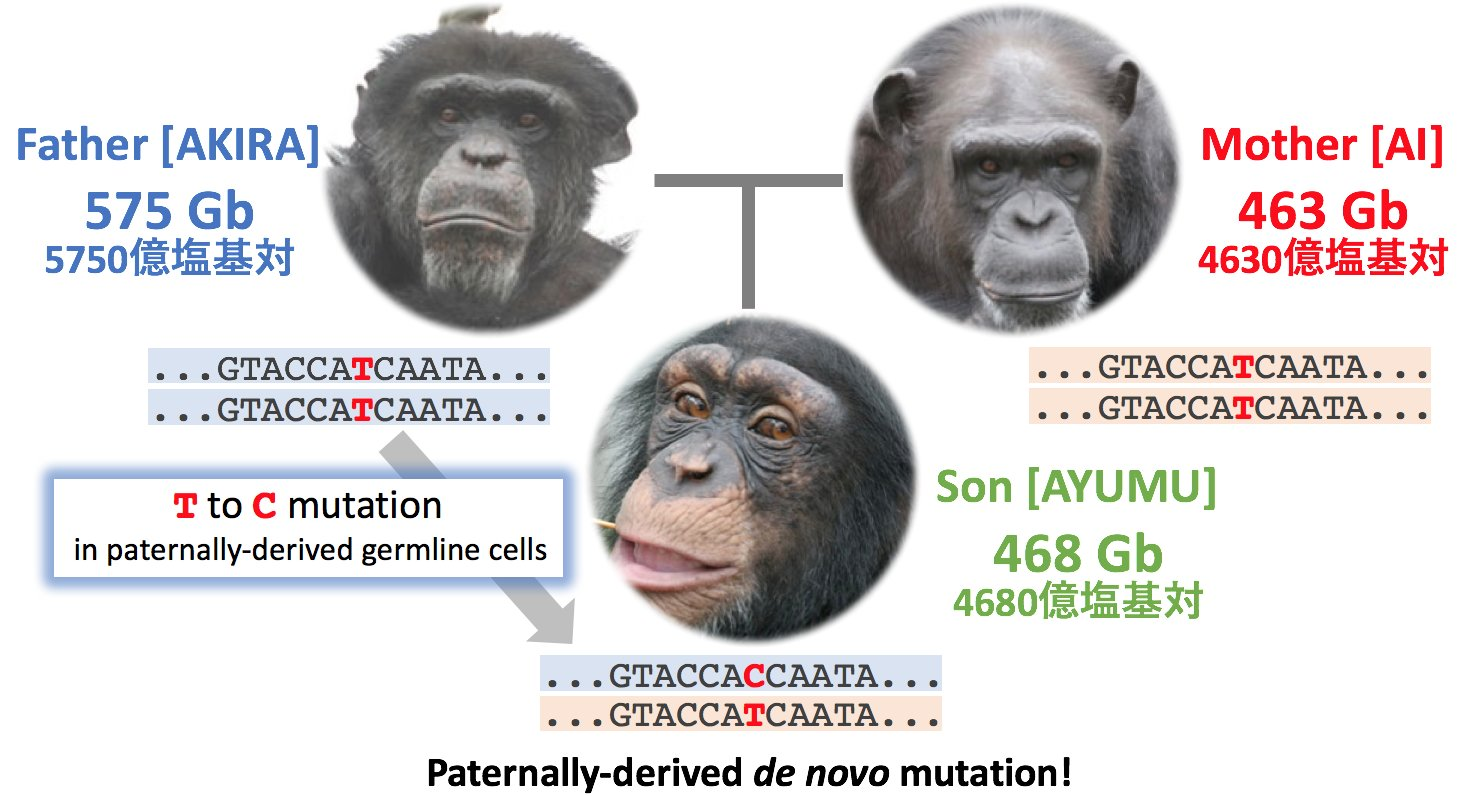 The scientists studied homologic genome sequences of chimpanzees