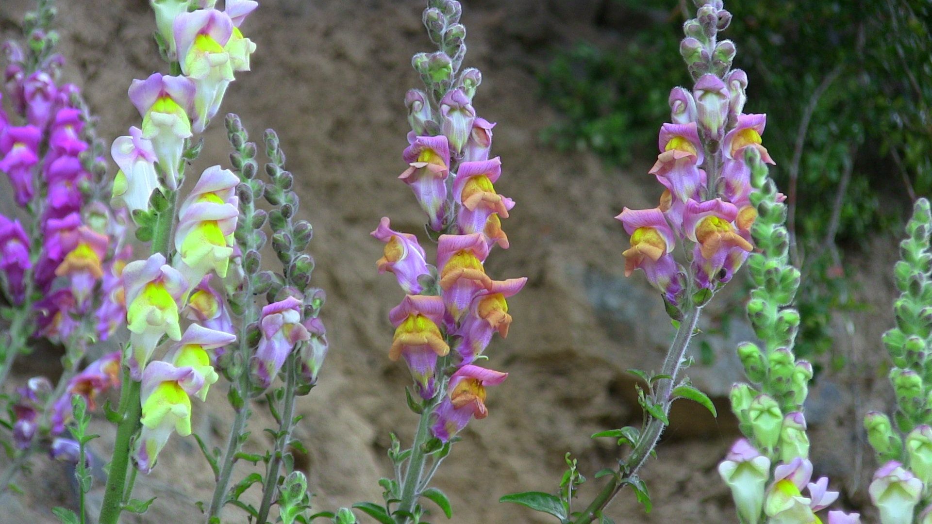 How Snapdragons Keep Their Colour Signposting Trick Reveals
