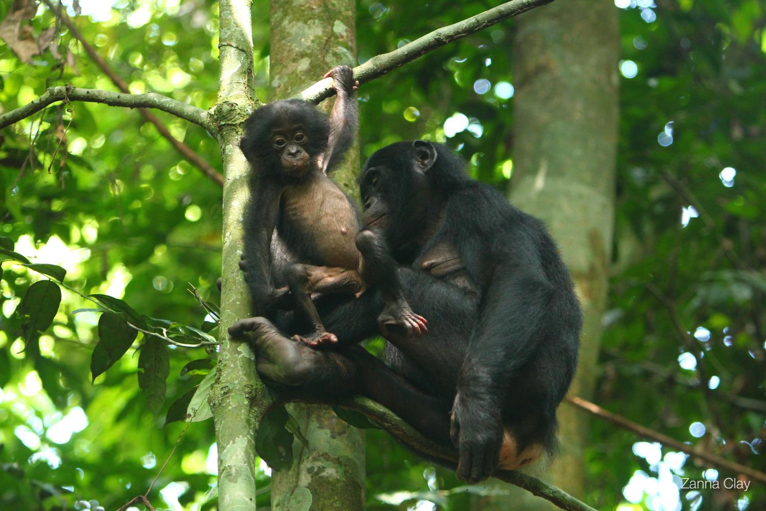 in fathering peaceloving bonobos dont spread the love