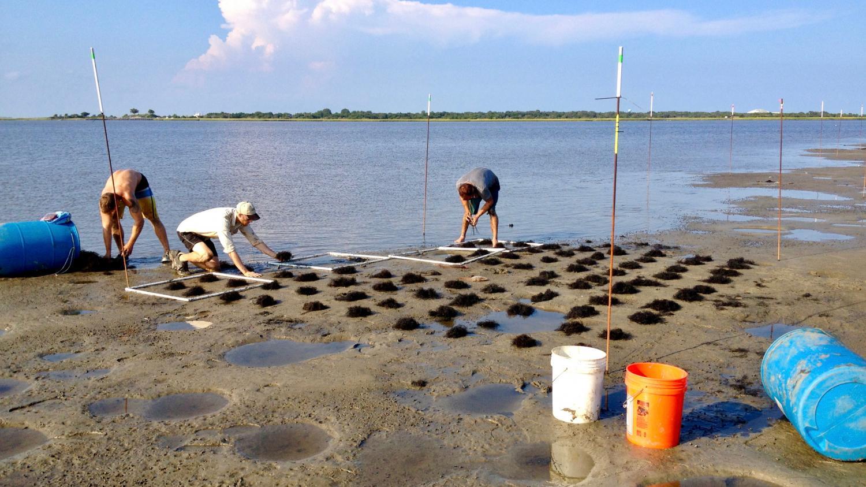 photo image Invasive plant species can enhance coastal ecosystems