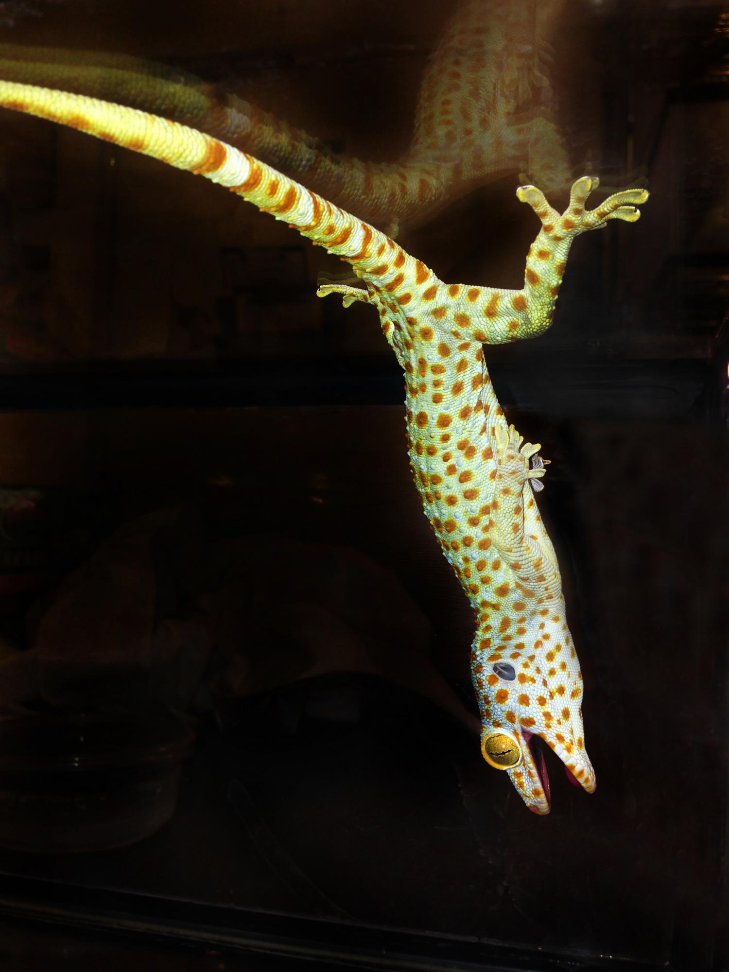Leaping Lizards Research Tests The Limits Of Gecko Adhesion