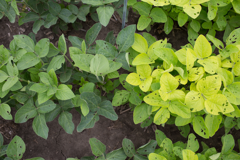 light green plants save nitrogen without sacrificing photosynthetic