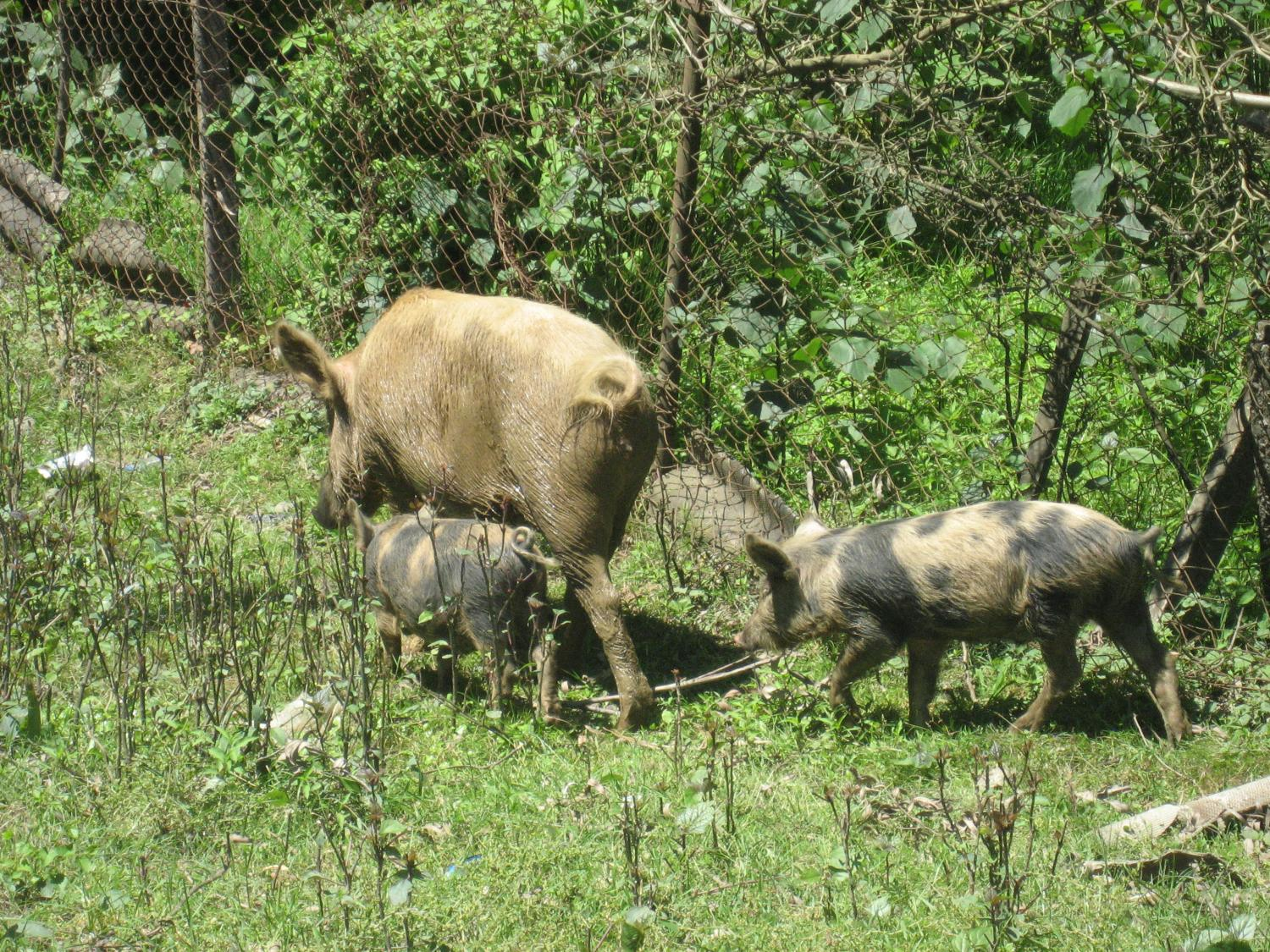 pig markets and traders could provide insight to controlling