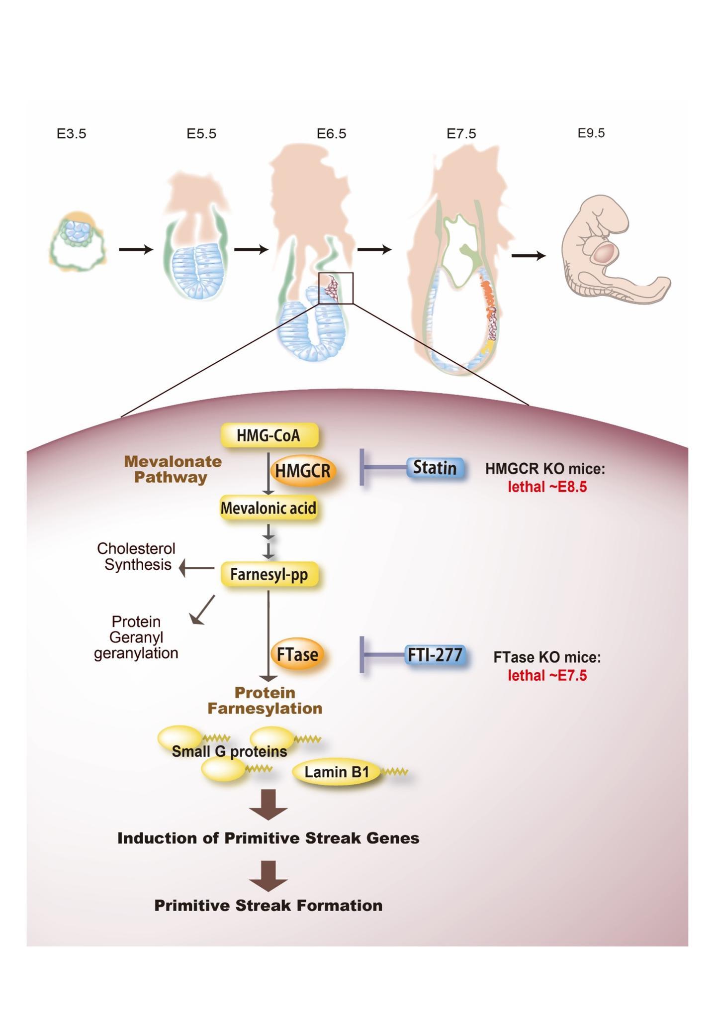 Metabolic Pathway Regulating Key Stage Of Embryo