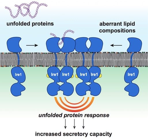 "role of charged lipids in membrane structure Also, one should consider how the transition temperature of the lipid could impact  the  serve to maintain a ""hydrated"" lipid membrane and keep the liposome  structure intact  the charge may provide a special function for the membrane."