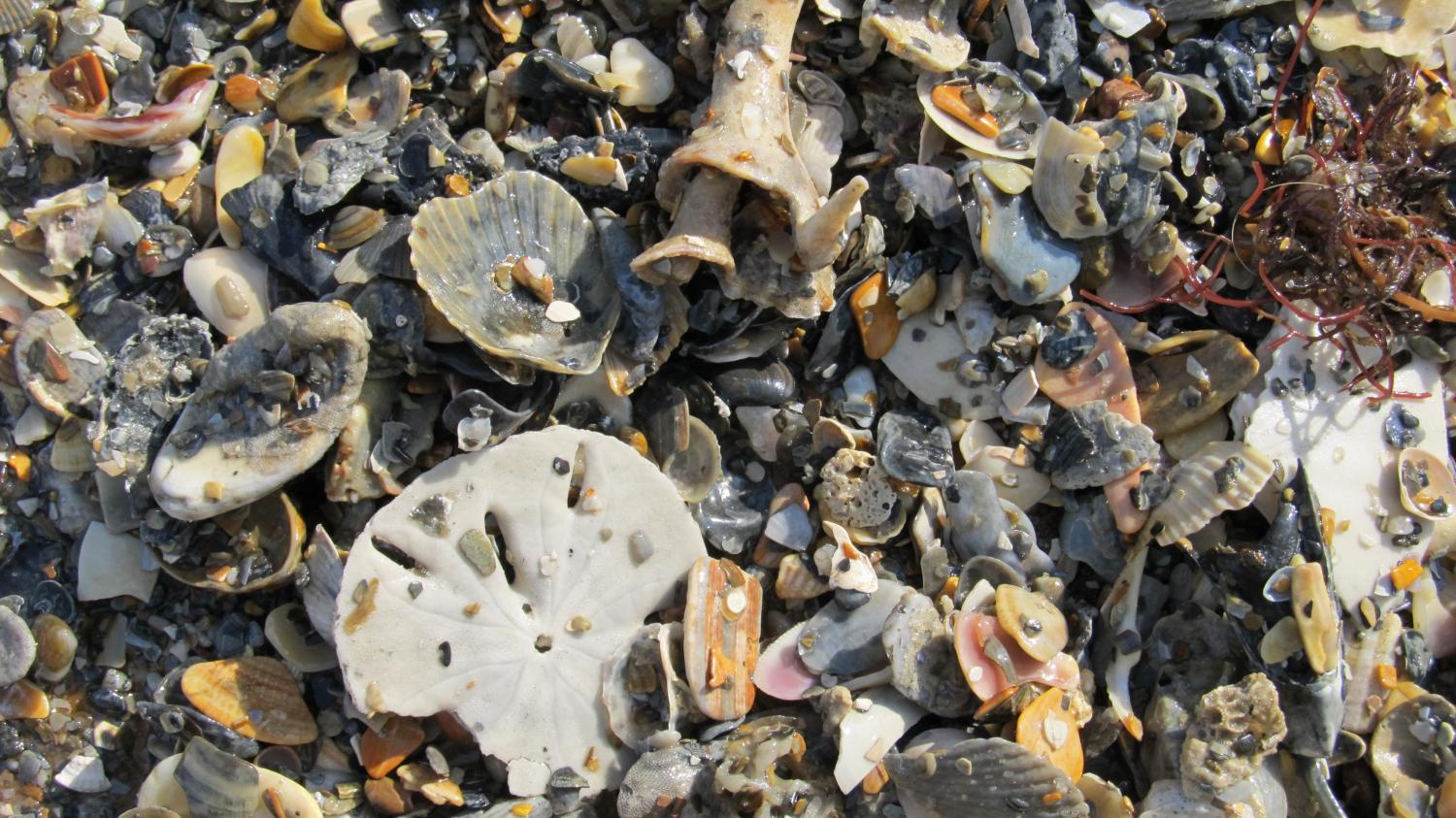 Mollusk graveyards are time machines to oceans' pristine past L Mollusks