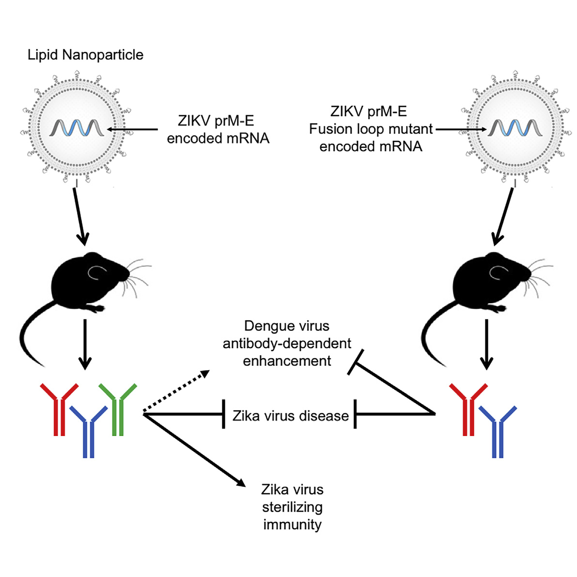 more evidence that zika mrna vaccines can stop viral