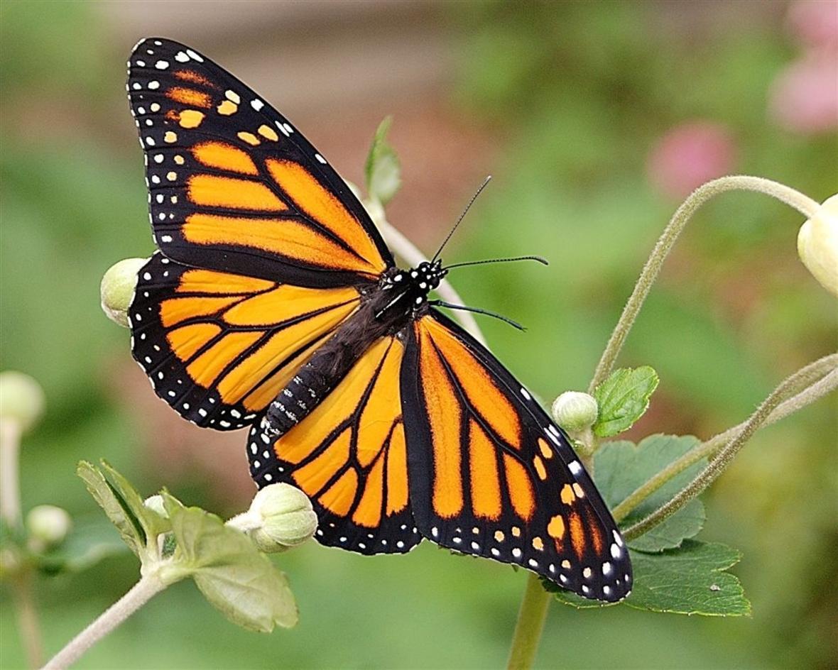 More Milkweeds Located Throughout The Landscape Can Help Conserve Monarchs