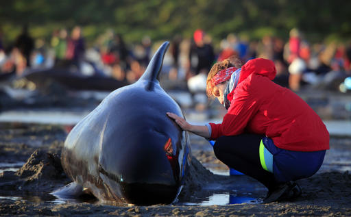 After 300 Beached Whales Died, Rescuers Raced To Save Hundreds More