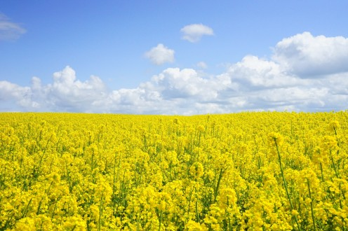 mustard seeds without mustard flavor new robust oilseed crop can resist global warming