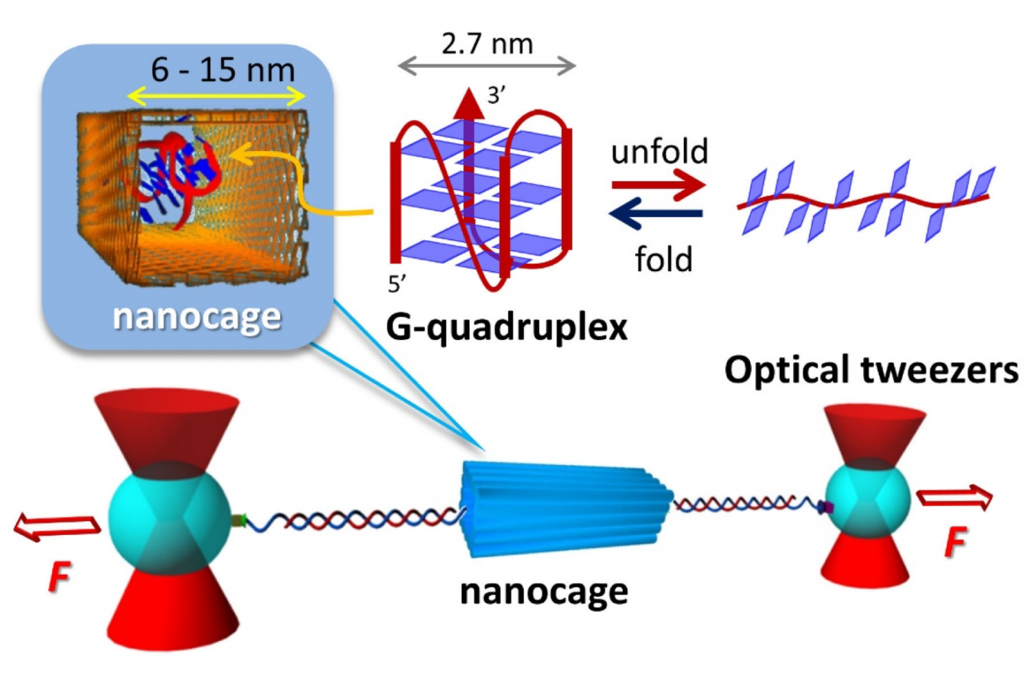 nanocages dramatically facilitate structure formation of biomolecules