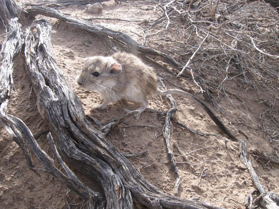 New analysis of rare Argentinian rat unlocks origin of the ...