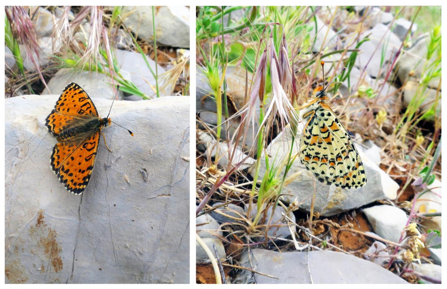 Acentria's fritillary (Melitaea acentria), a new butterfly species discovered in Israel on the slopes of the popular Mount Hermon ski resort. Photocredit: Dr Vladimir Lukhtanov