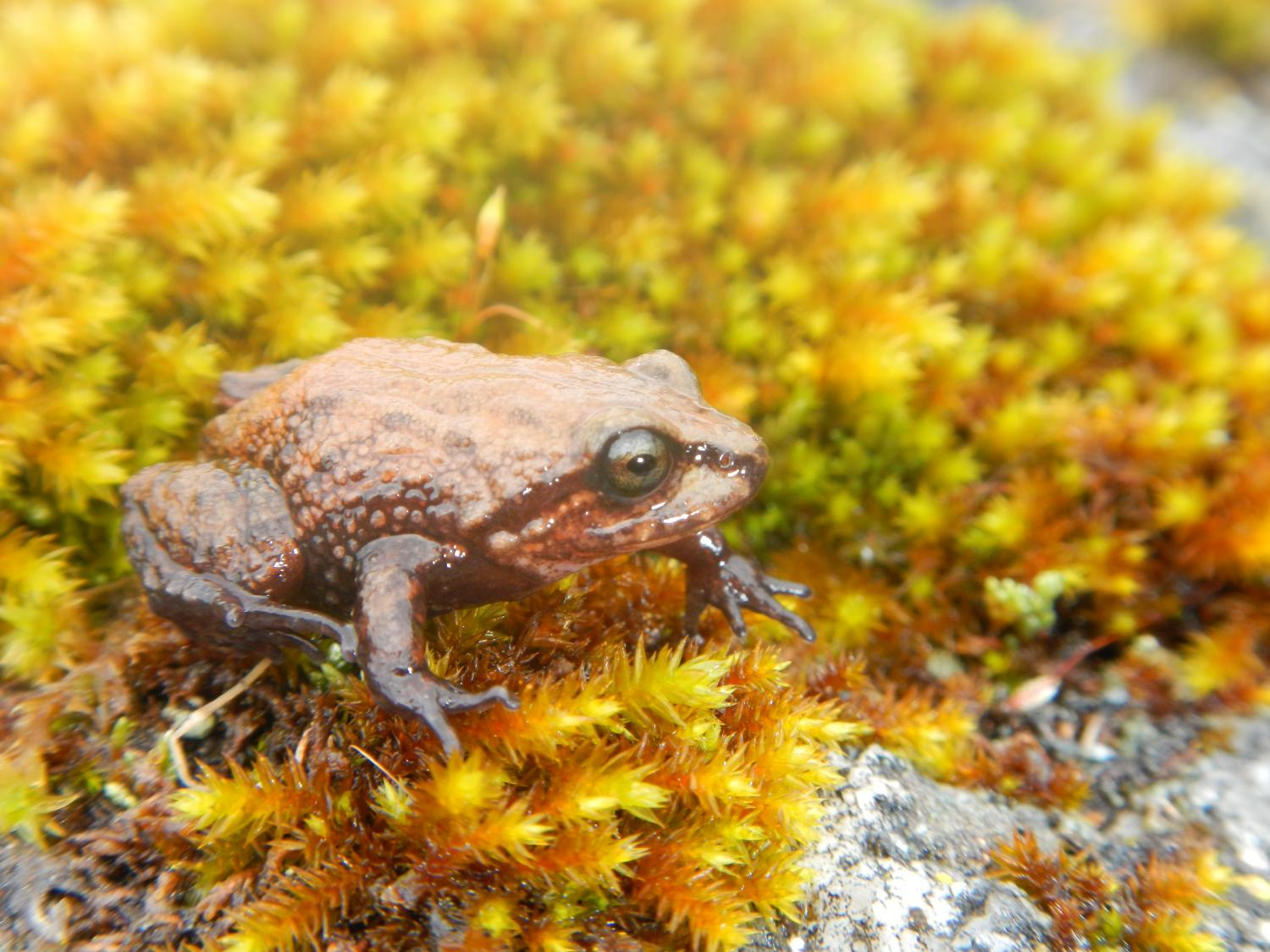 new frog from the peruvian andes is the first amphibian named after