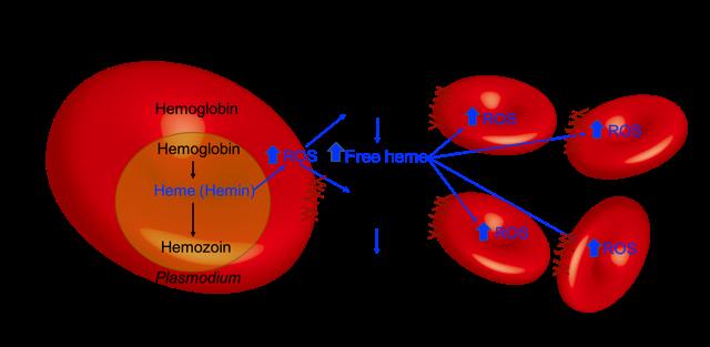 new malaria analysis method reveals disease severity in. Black Bedroom Furniture Sets. Home Design Ideas