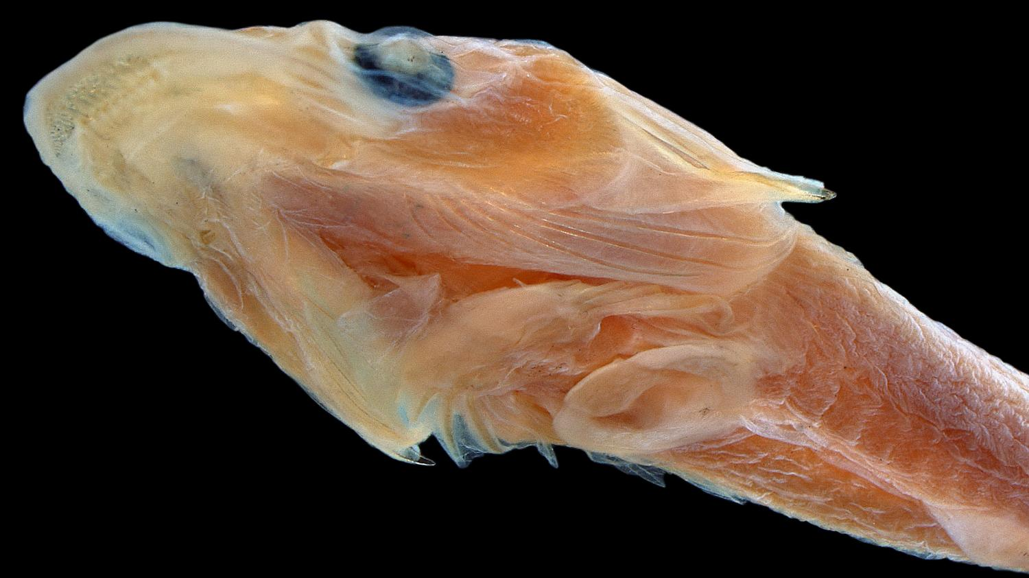 New many toothed clingfish discovered with help of digital for New fish discovered