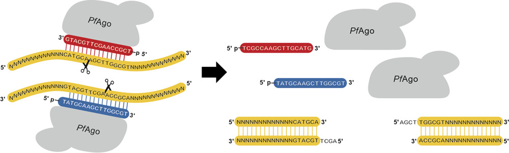 New method of genetic engineering indispensable tool in biotechnological applications