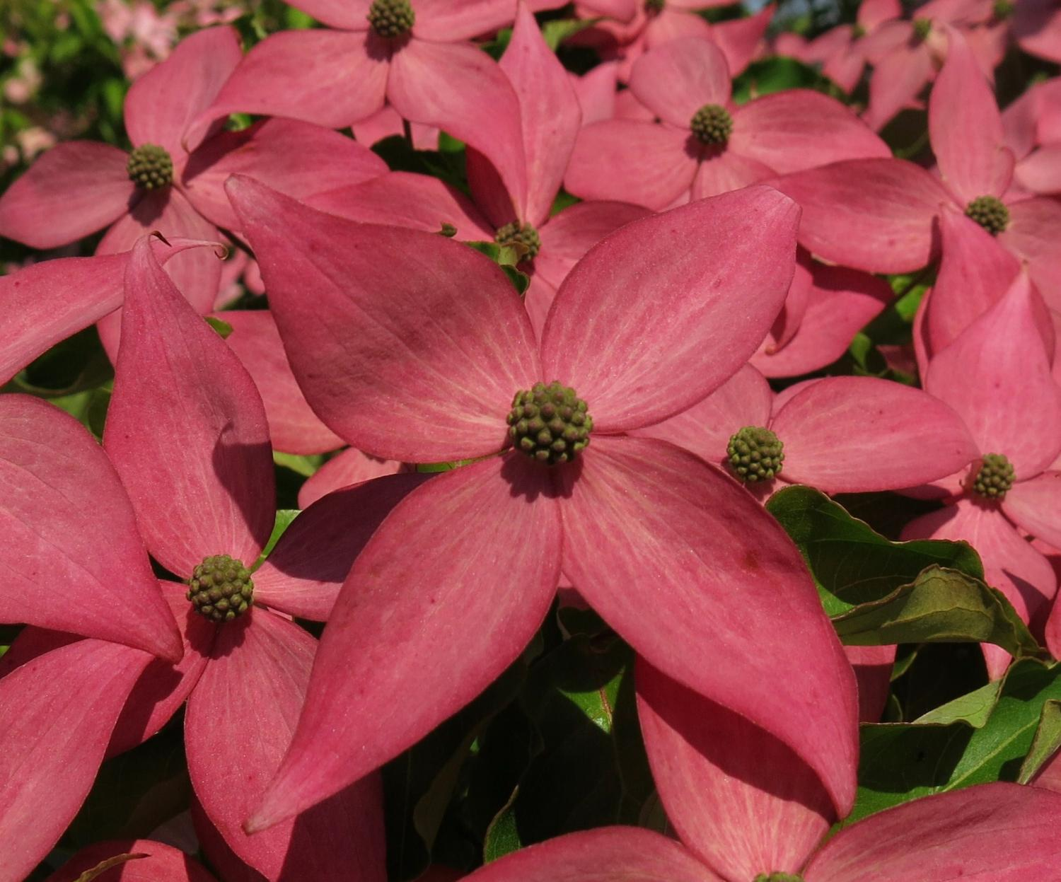 New Pink Dogwood Adds Breakthrough Color To The Landscape