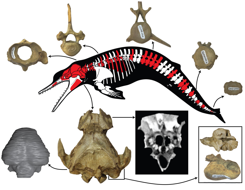 New postcranial skeleton of ancient dolphin Albertocetus meffordum ...