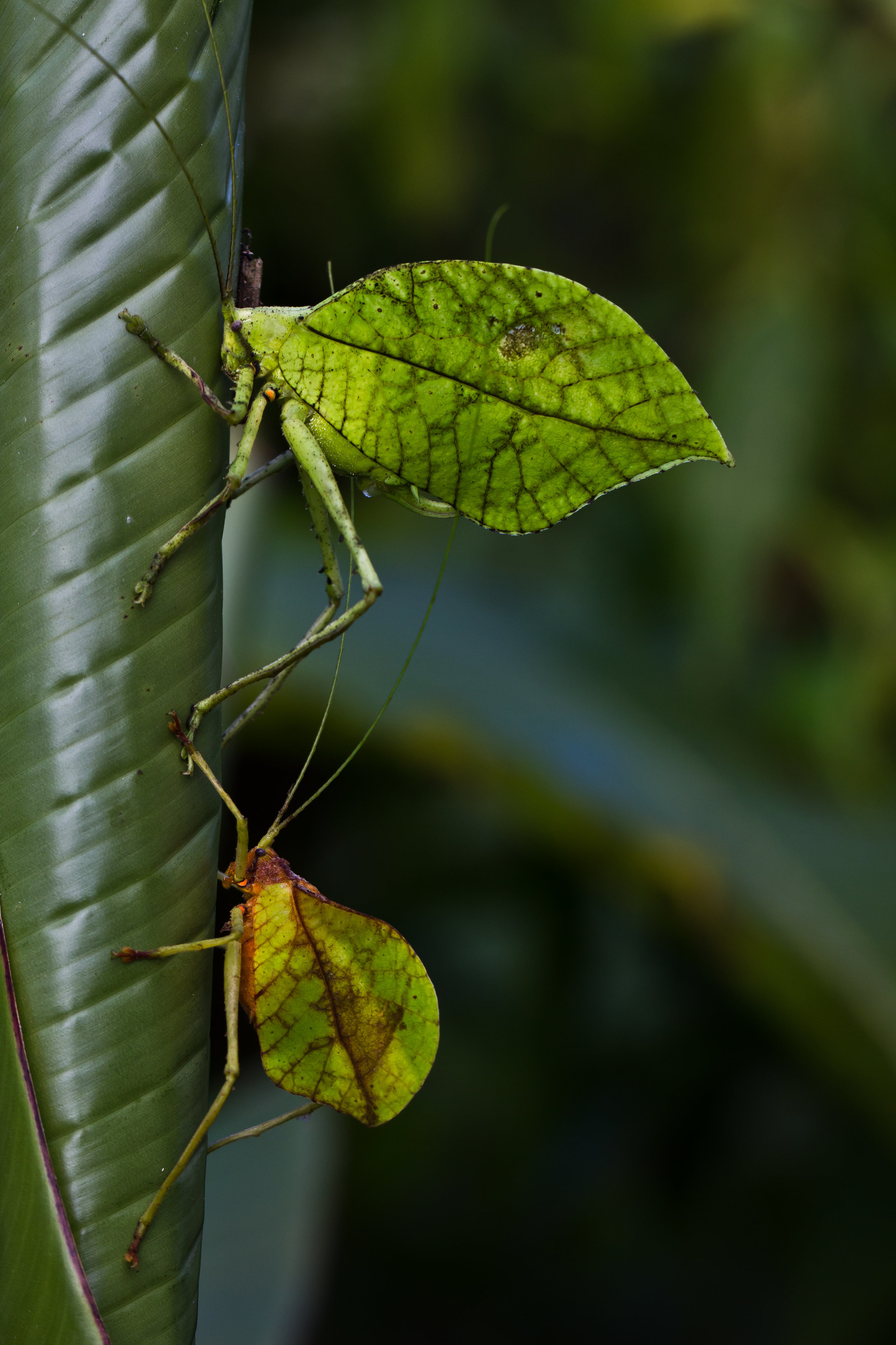New Insect Species Mimics Dead Leaves For Camouflage