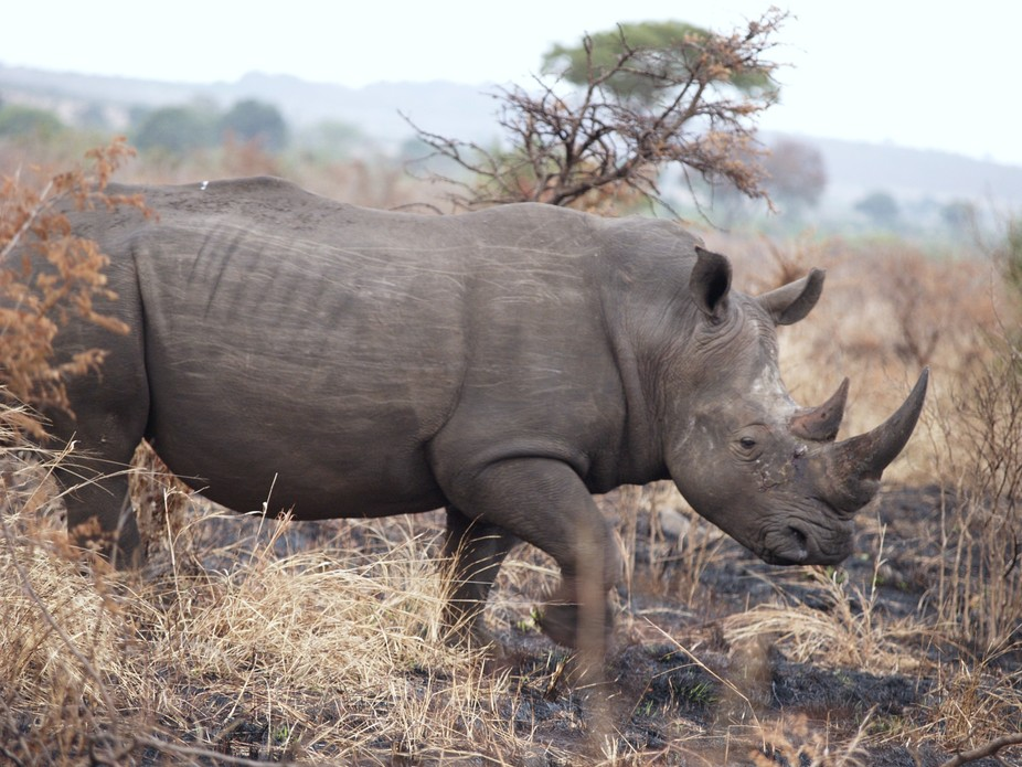 N White Rhino Opinion: Rhinos...