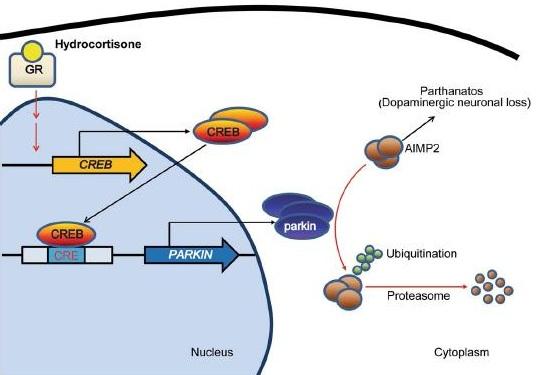 team identifies mechanism of dopaminergic neuronal death