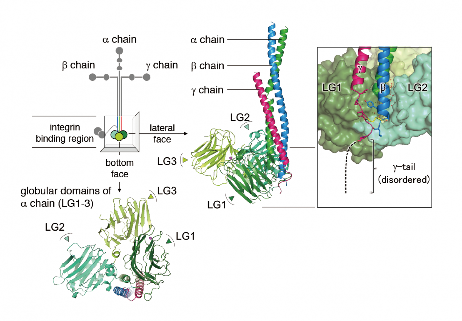 proteins keep a grip on cells The Laminin Molecule Shirt crystal structure of the integrin binding region of laminin c terminal g chain (g tail), which is critical segment for integrin binding, was disordered