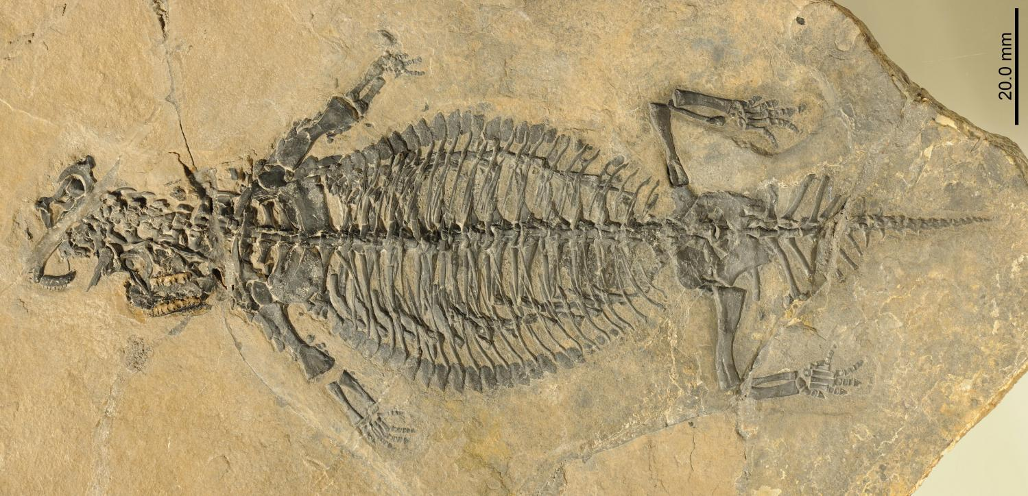 Eusaurosphargis dalsassoi, new specimen PIMUZ A/III 4380. Credit: Beat Scheffold; Palaeontological Institute and Museum, University of Zurich, Switzerland