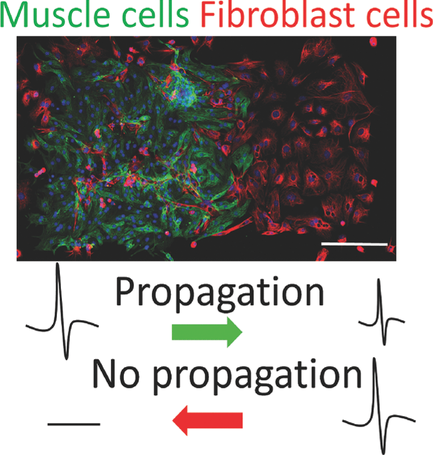 Researchers develop \'living diode\' using cardiac muscle cells
