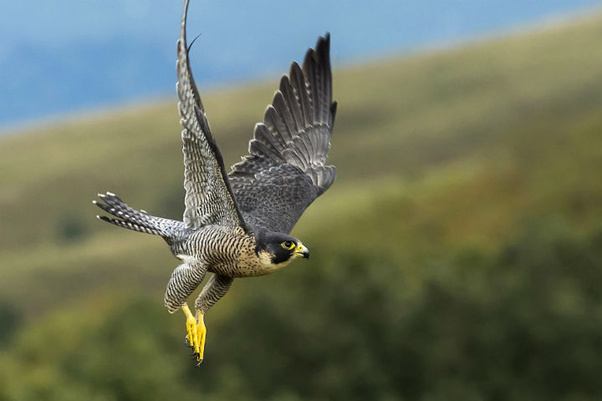 Research work on peregrine falcons inspires future ...