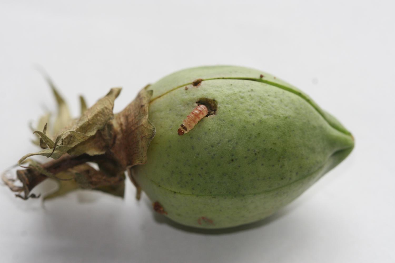 reversing pest resistance  biotech cotton  secret    mix