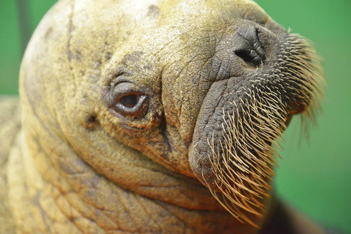 rx for orphan walrus calf touch massage cuddle repeat
