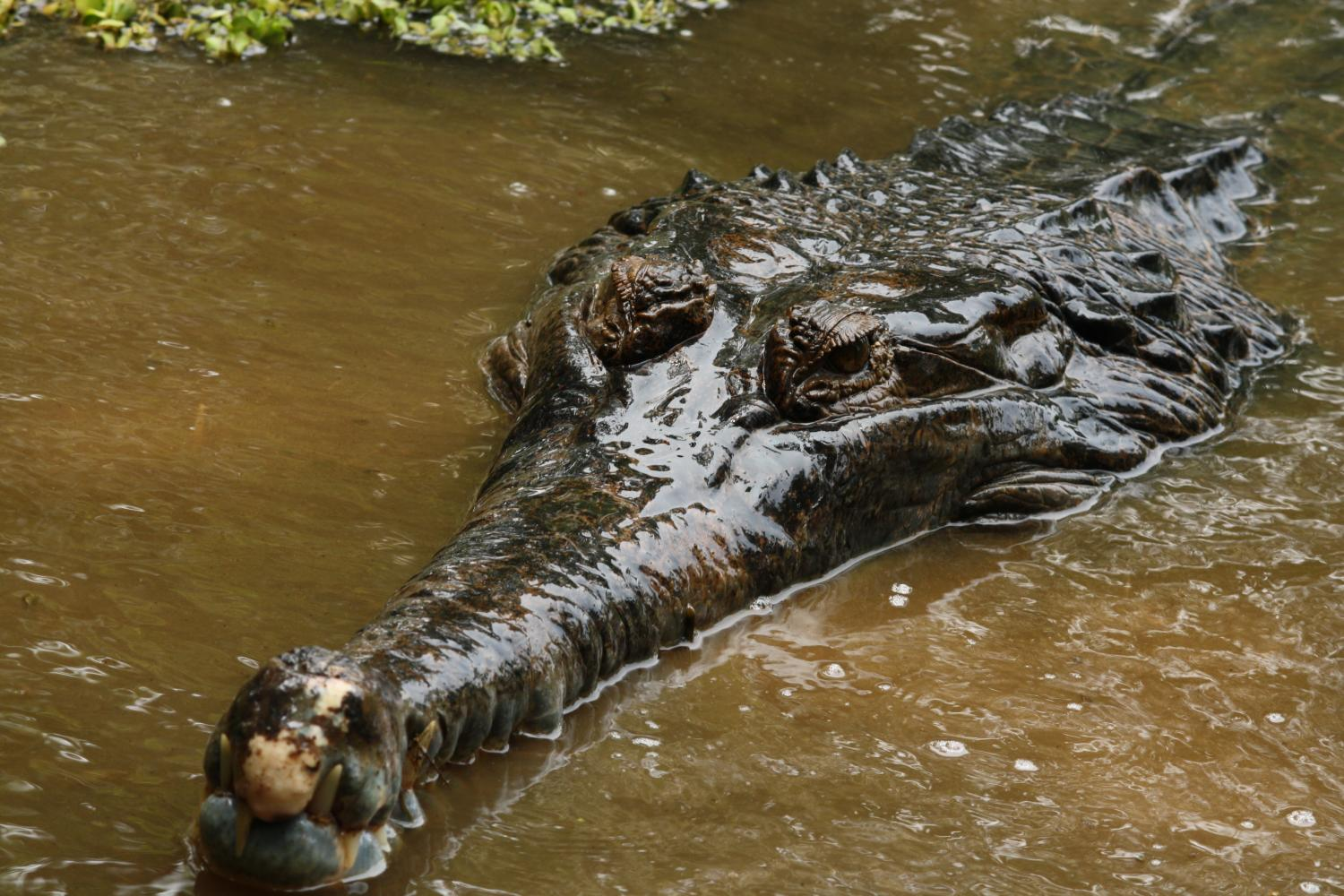 establish the first semen collection from saltwater crocodiles in ...