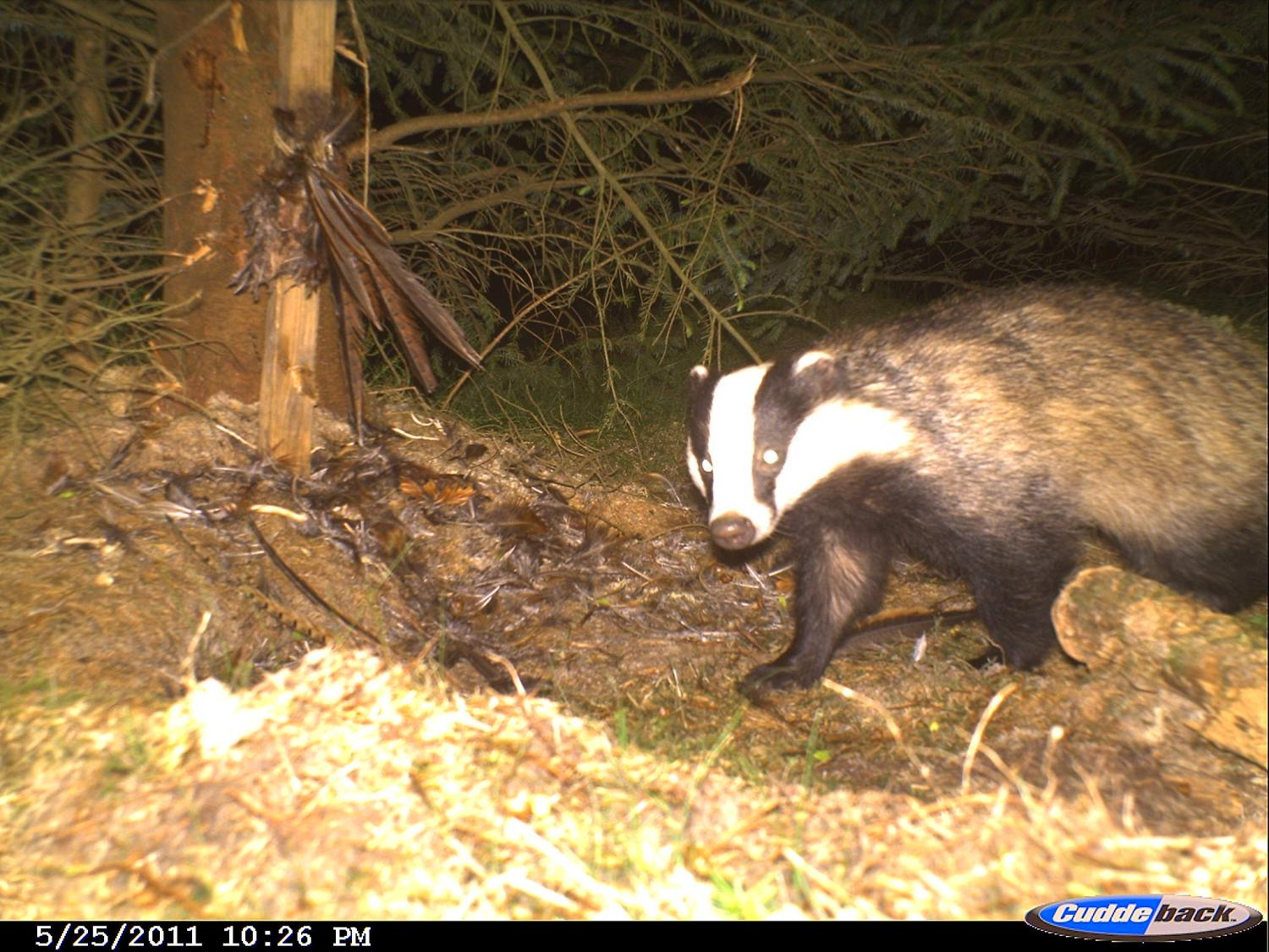 badgers highlight the complexity of species responses to