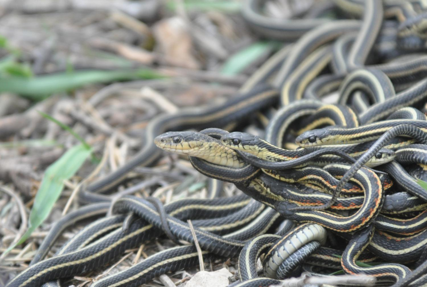 Sex Obsession A Killer For Male Snakes-2072