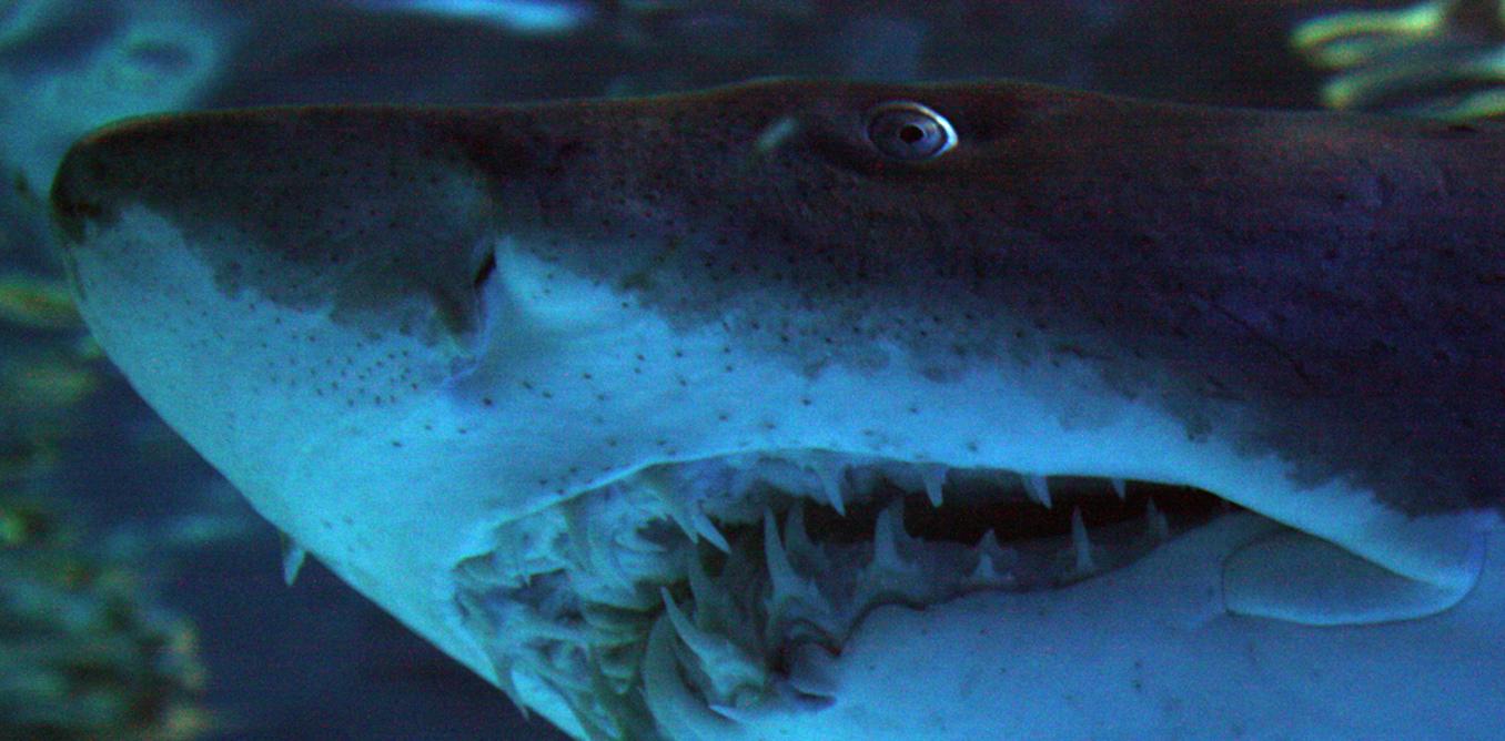 Shark Study Reveals Taste Buds Were Key To Evolution Of Teeth
