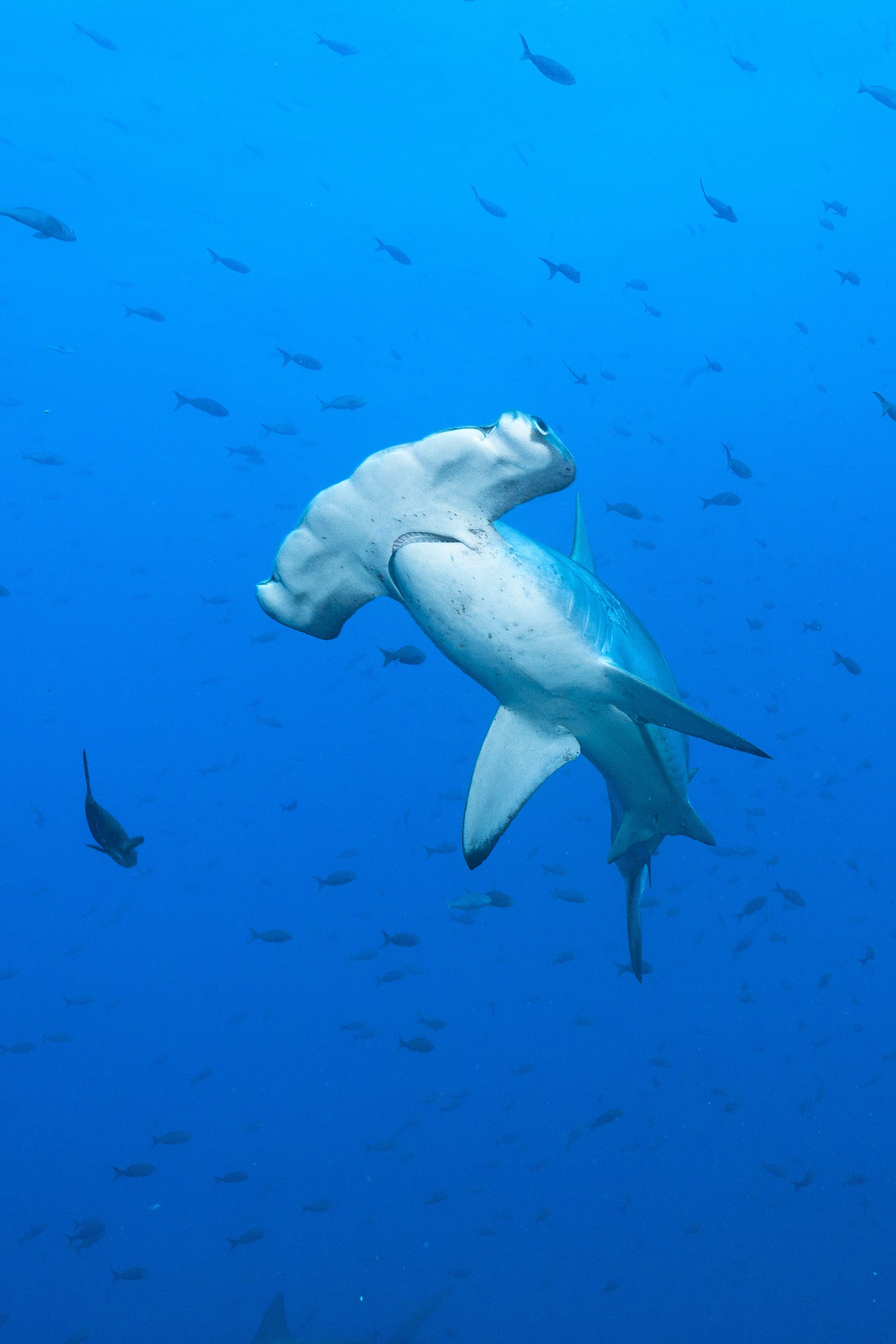 size doesn u0027t matter u2014at least for hammerheads and swimming performance