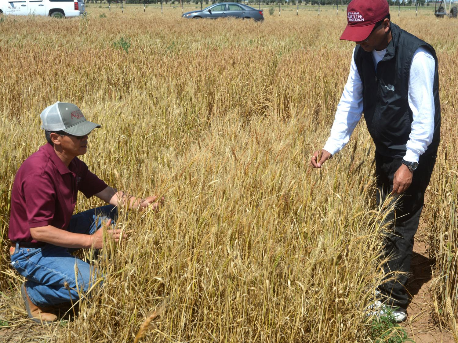 wheat crop experiment Long-term field experiments play an important role in understanding the complex  interactions of plants, soils, climate and management and their effects on.