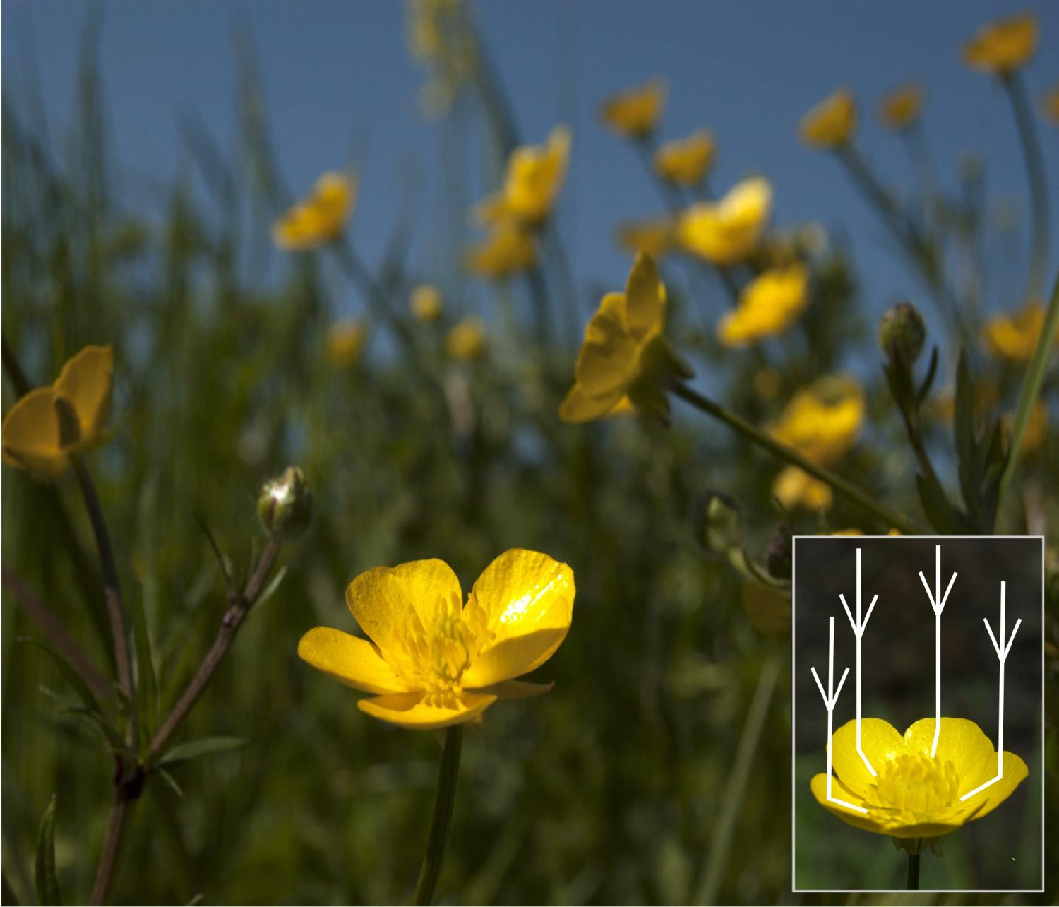 Sophisticated optical secrets revealed in glossy buttercup flowers mightylinksfo