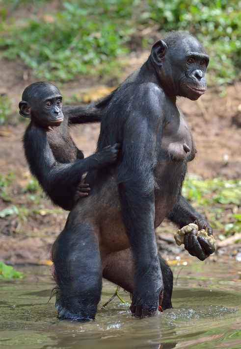 Study finds bonobos may be better representation of the ...