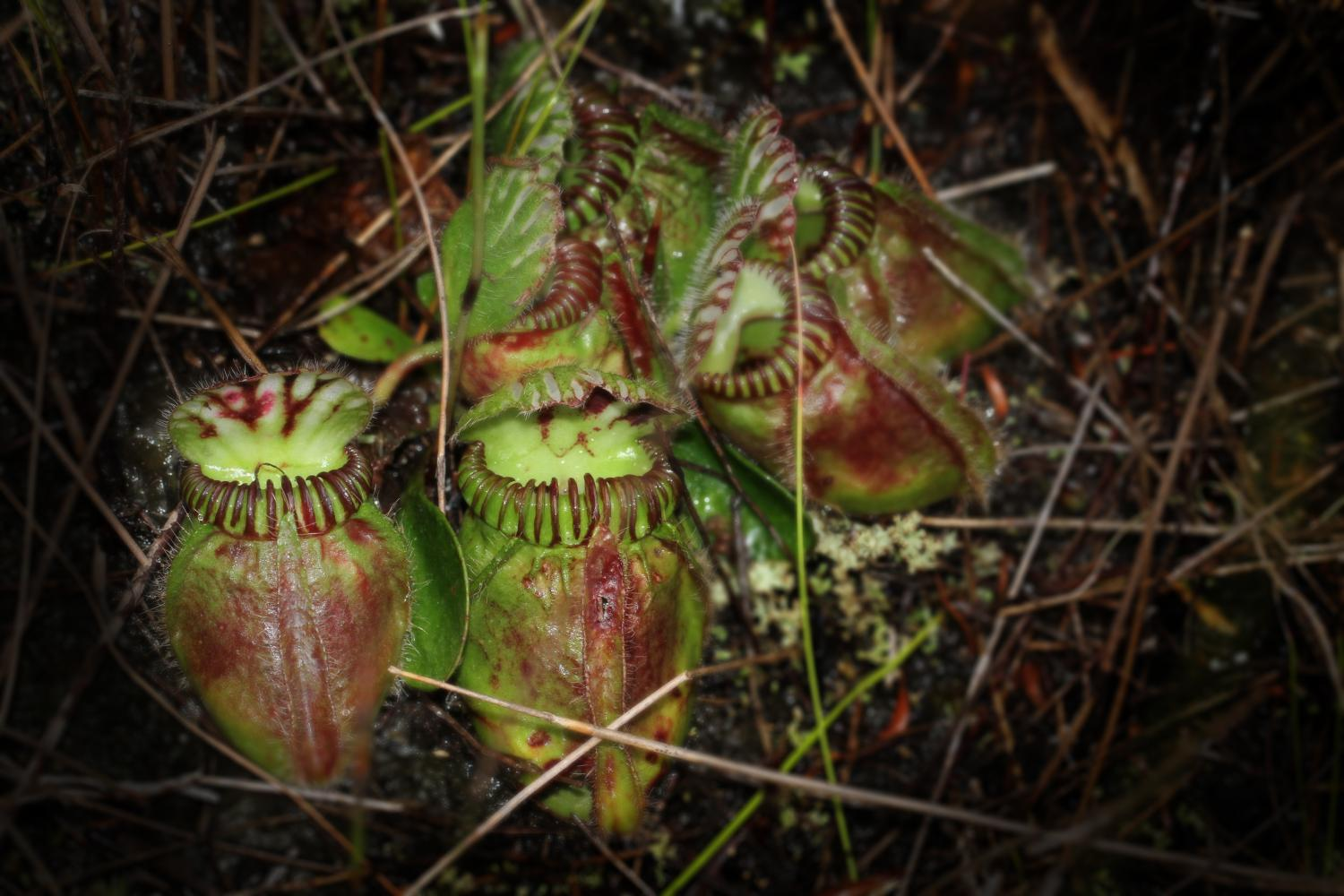 What sex is the pitcher plants
