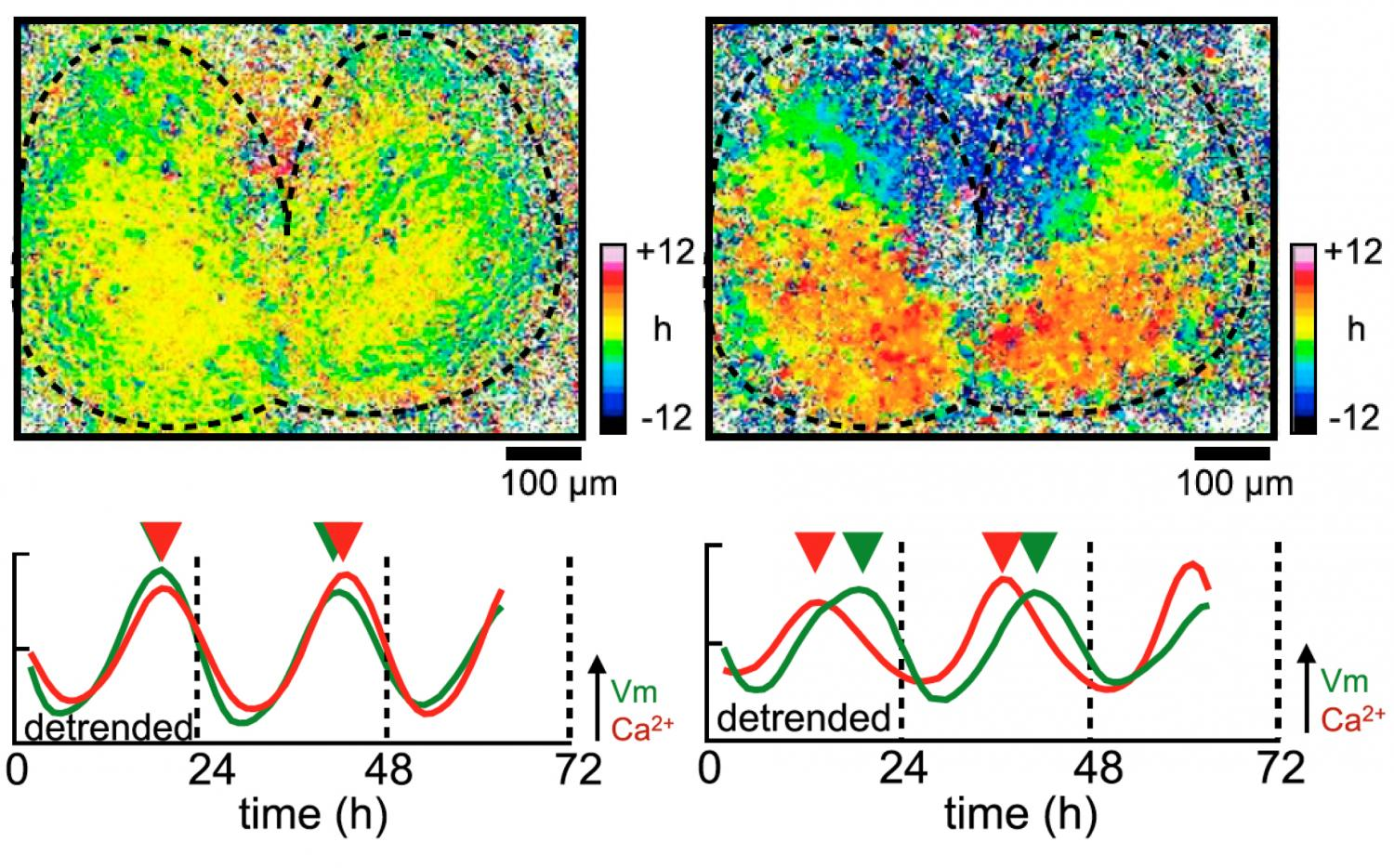 Synchronized voltage rhythms could maintain the body's clock