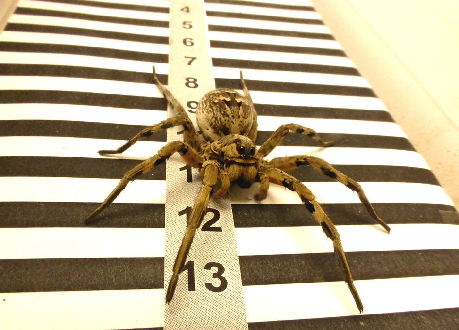photo image Tarantulas use their lateral eyes to calculate distance