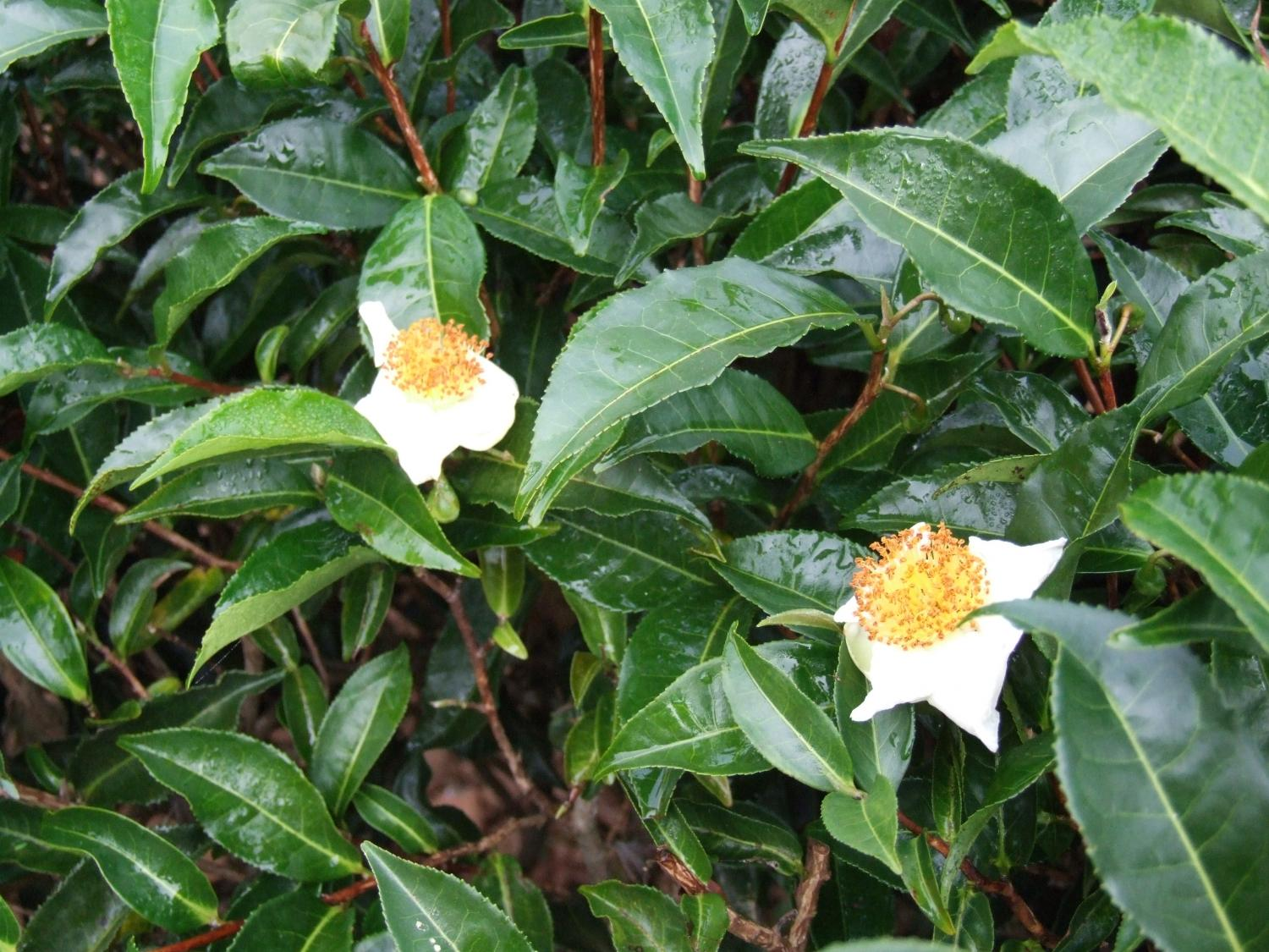 Tea Tree Genome Contains Clues About How One Leaf Produces So Many Hydra Anatomy Diagram Tutorvista Answers A Close Up Of Camellia Sinensis Shrub Credit Lizhi Gao Lab